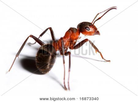 Big red ant isolated on white background.