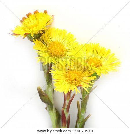 Coltsfoot (Tussilago farfara) the plant has been used historically to treat lung ailments such as asthma as well as various coughs by way of drinking herbal tea.