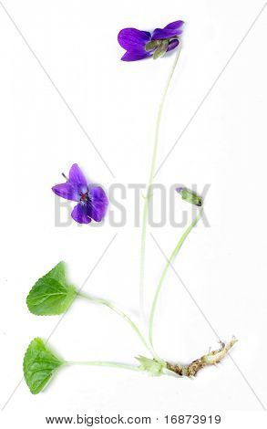 Common Violet (Viola odorata) is commonly used as remedy to cure sore throat and tonsilitis. Violet syrup is used to make violet scones and marshmallows.
