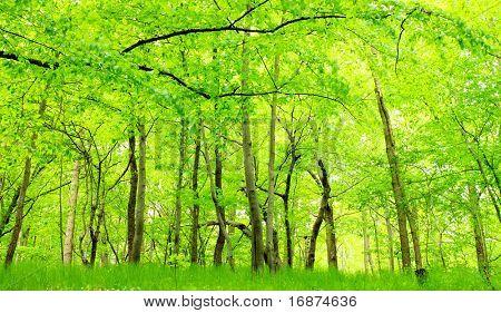 Green hornbeam wood. Beautiful scenery in Bohemian Forest. Czech Republic - Europe.