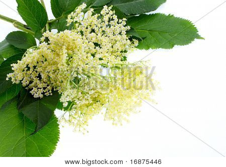 Sambucus nigra - Elder - The flowers and berries are used most often medicinally.