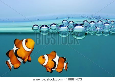Tropical reef fish - Clownfish.