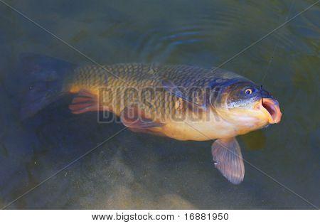 Big Carp (Cyprinus Carpio) on a fishing line.
