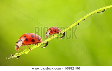 The ladybugs couple running on a dewy grass.