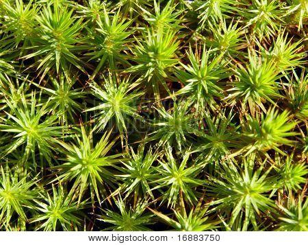 peat moss (Sphagnum)