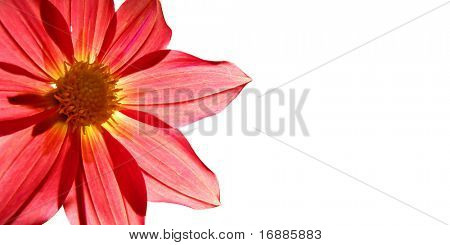 picture postcard with flower of the dahlia on white background
