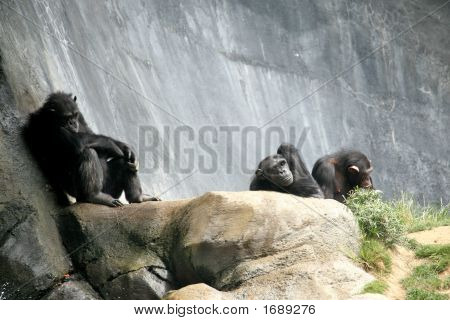 3 Chimps Relaxing
