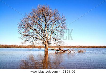 solitary oak in water