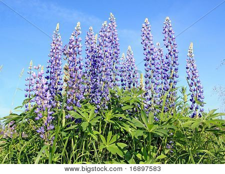 lupines on field