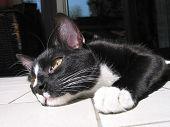 Resting Cat poster