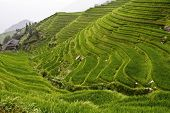 classic Asian rice field background