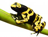 Yellow-banded poison dart frog - Dendrobates leucomelas isolated on white background