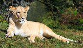 Постер, плакат: Большой женщина Лев Panthera leo лежащий в траве Зоопарк города Пльзень Чешская Республика Европа