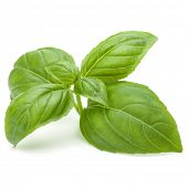 Close up studio shot of fresh green basil herb leaves isolated on white background. Sweet Genovese b poster