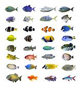 picture of saltwater fish  - Great tropical fish collection on white background - JPG