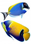 stock photo of angelfish  - Tropical reef fish  - JPG