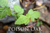 Toxicodendron diversilobum , Rhus diversiloba, commonly named Pacific poison oak or western poison o poster