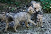 Newborn Arctic wolf (Canis lupus arctos), also known as the Melville Island wolf.  poster