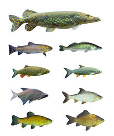 image of musky  - Great collection of freshwater fish on white background - JPG
