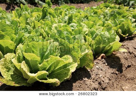 An image of lettuce fields in spring time