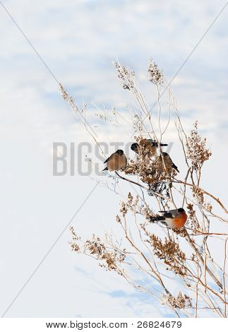 winter scenery with bullfinches