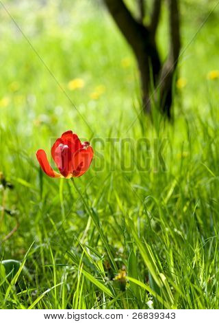 Tulip in grass with tree thunk in background