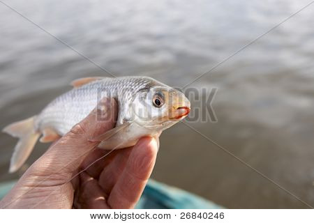 Weathered hand holding little roach with bloodworm in mouth