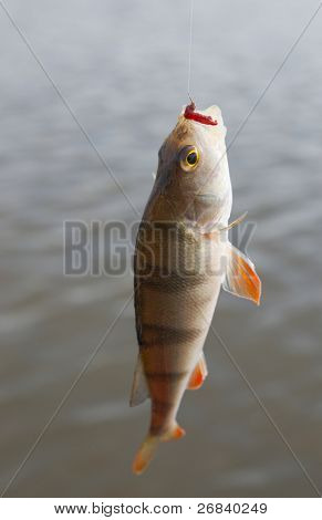 Perch pulled out of water with bloodworm bait in mouth