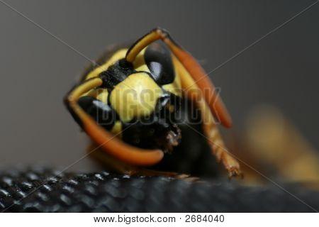 Wasp Head