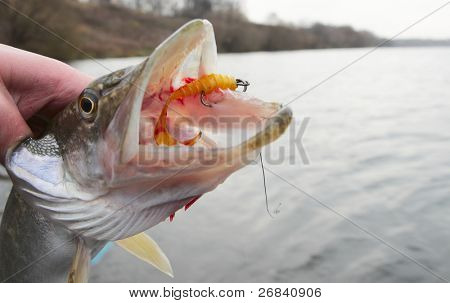 Northern pike mouth with yellow twister bait