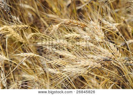 Drought on a wheaten field