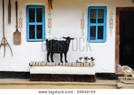 Rural life scene. Goat and a cat on the bench. Farmhouse.