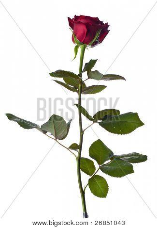 eine einzelne Rose auf weißem Hintergrund