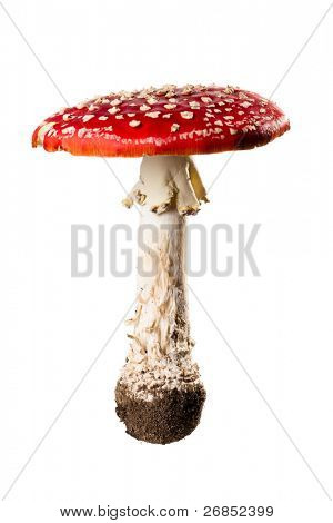 red poison mushroom close up studio shoot