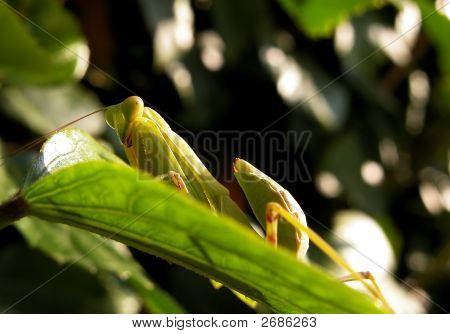Grasshopper Resting On A Leaf