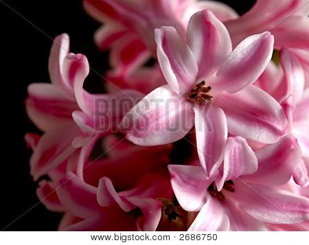 Alone Pink Hyacinth