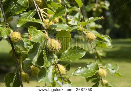 Beech Tree, Leaves And Fruit