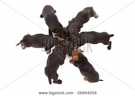 Puppies of dachshund around bowl with milk. Isolated on white