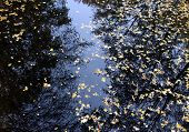 Autumn Maple Leaves In Puddle Of Water. Puddle Water Autumn Maple Leaves. Autumn Maple Leaves In Wat poster