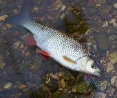 stock photo of chub  - Chub caught on a hardbait lying in water - JPG