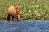 The Horse Stands In The Water Of The Pond And Drinks Water From There. Horses At The Site Of Waterin poster