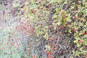 Hips Bush With Ripe Berries. Berries Of A Dogrose On A Bush. Fruits Of Wild Roses. Thorny Dogrose. R poster