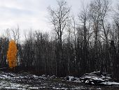 Isolated Birch Tree With Bright Orange Leaves Among Bare Maple Trees - Be Noticed, Determination, Su poster