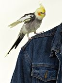 picture of cockatiel  - Cockatiel  - JPG