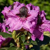 Rhododendron Hybrid Kangaroo (rhododendron Hybrid), Close Up Of The Flower Head In Sunshine poster