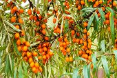 Branch Of Sea Buckthorn In A Garden.sea-buckthorn Oil.vitaminic Healthy Sea Buckthorn Tea. Fresh Raw poster