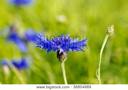 Closeup Of Blur Cornflower Bluet Bluebottle Flower