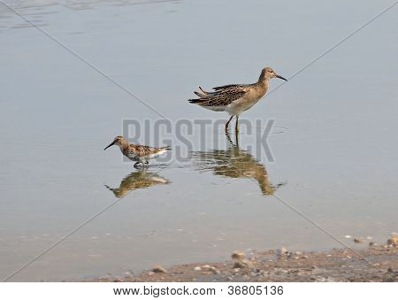 sandpiper and snipe