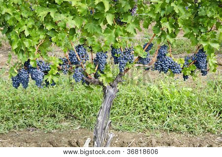 Cabernet Sauvignon Red Wine Grapes on the Vine