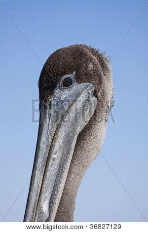 Closeup of a Pelican